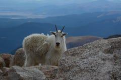 在登上伊万斯顶部的石山羊 库存图片