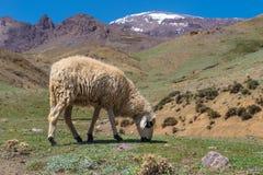 在登上地图集的绵羊 免版税库存照片