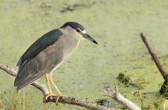 在水上被栖息的黑被加冠的夜鹭属 免版税库存图片