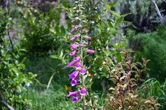 在登上Kau Kau,惠灵顿,新西兰的紫色野花 库存照片