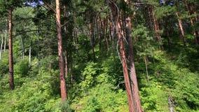 在登上Tserkovka山坡的美好的植被在Belokurikha。阿尔泰边疆区。 影视素材