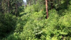 在登上Tserkovka山坡的美好的植被在Belokurikha。阿尔泰边疆区。 股票录像