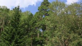 在登上Tserkovka山坡的美好的植被在Belokurikha。 股票录像