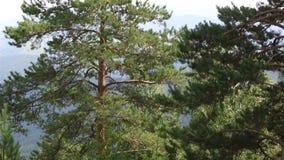 在登上Tserkovka山坡的美好的植被在Belokurikha。 股票视频