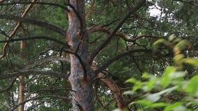 在登上Tserkovka山坡的美好的植被在Belokurikha 股票录像