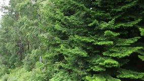 在登上Tserkovka山坡的美好的植被在Belokurikha 影视素材
