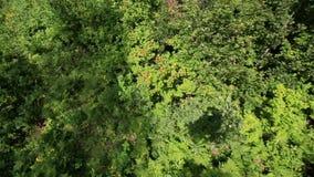 在登上Tserkovka山坡的美好的植被在Belokurikha 股票视频