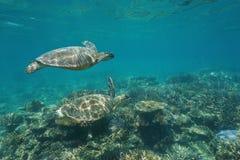 在水下的两只绿浪乌龟在珊瑚礁 库存图片