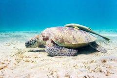 在水下的海底的海龟 免版税库存照片