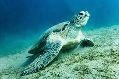 在水下的海底的海龟 库存照片
