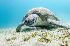 在水下的海底的海龟 库存图片