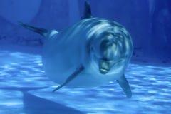 在水下的海豚 免版税库存照片