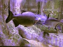 在水下的淡水鱼在被充斥的根背景  图库摄影