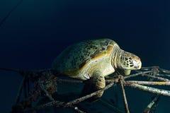 在水下的珊瑚礁的海龟 免版税库存照片