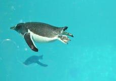 在水下的逗人喜爱的Gentoo企鹅游泳在水池 图库摄影