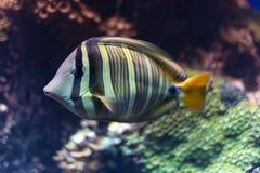 在水下的镶边热带鱼游泳 库存图片
