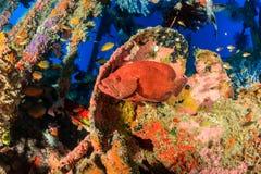 在水下的击毁的珊瑚石斑鱼 库存图片