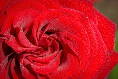 在水下落盖的美丽的玫瑰 库存照片