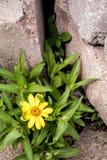 在2个岩石之间的一朵被隔绝的黄色花 图库摄影