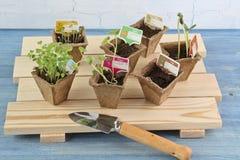 在6个泥煤罐的幼木在木板台 库存照片
