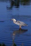 在水中吃鱼的伟大蓝色的苍鹭的巢 免版税库存照片