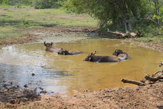 在水中的几头亚洲水牛 免版税库存图片