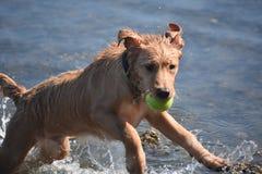 在水中飞跃湿鸣钟人小狗与网球 库存照片