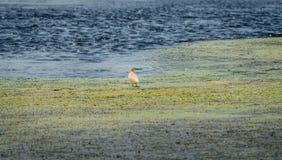 在水中间的一只squacco苍鹭 库存照片
