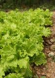 在从事园艺的新鲜的莴苣沙拉 免版税库存图片