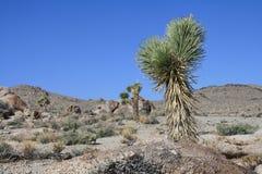 在死亡谷,北美附近的仙人掌, 库存照片