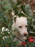 在仙人掌和花中的幼小白色狗 免版税库存照片