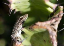 在仙人掌的小蜥蜴 库存图片