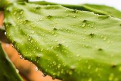 在仙人掌的雨下落 库存图片