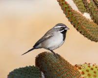在仙人掌的黑红喉刺莺的麻雀 免版税库存图片