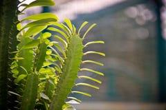 在仙人掌的绿色叶子 免版税库存图片