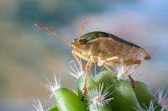 在仙人掌的绿色盾臭虫 免版税库存照片