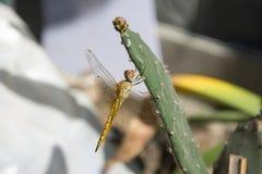 在仙人掌的蜻蜓 库存照片