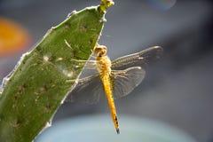 在仙人掌的蜻蜓 库存图片