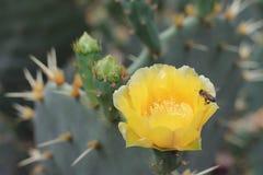 在仙人掌花的蜂 库存照片