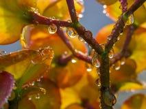 在仙人掌FLOWER-LEAF的雨珠 库存照片