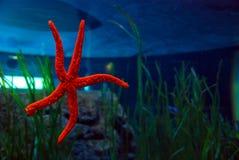 在巴伦西亚,西班牙Oceanografic的海星  免版税库存图片