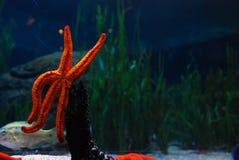 在巴伦西亚,西班牙Oceanografic的海星  免版税库存照片