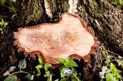 在击倒的树的树桩的特写镜头 免版税库存照片