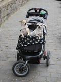在婴儿推车的狗 库存图片