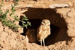 在洞穴入口的猫头鹰 免版税库存照片