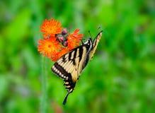在水兰属的植物花的东部老虎Swallowtail 库存照片