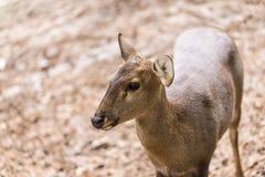 在头关闭的印地安肉猪鹿射击 库存照片