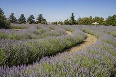 在123农场的淡紫色节日 免版税库存照片