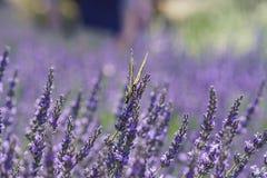 在123农场的淡紫色节日 免版税图库摄影