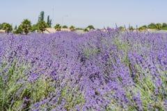 在123农场的淡紫色节日 免版税库存图片